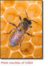 Honeybee_image